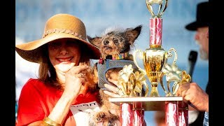 Full Video ! World's Ugliest Dog Competition Winner and Contestant List