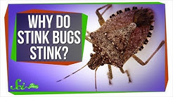 Why Do Stink Bugs Stink?