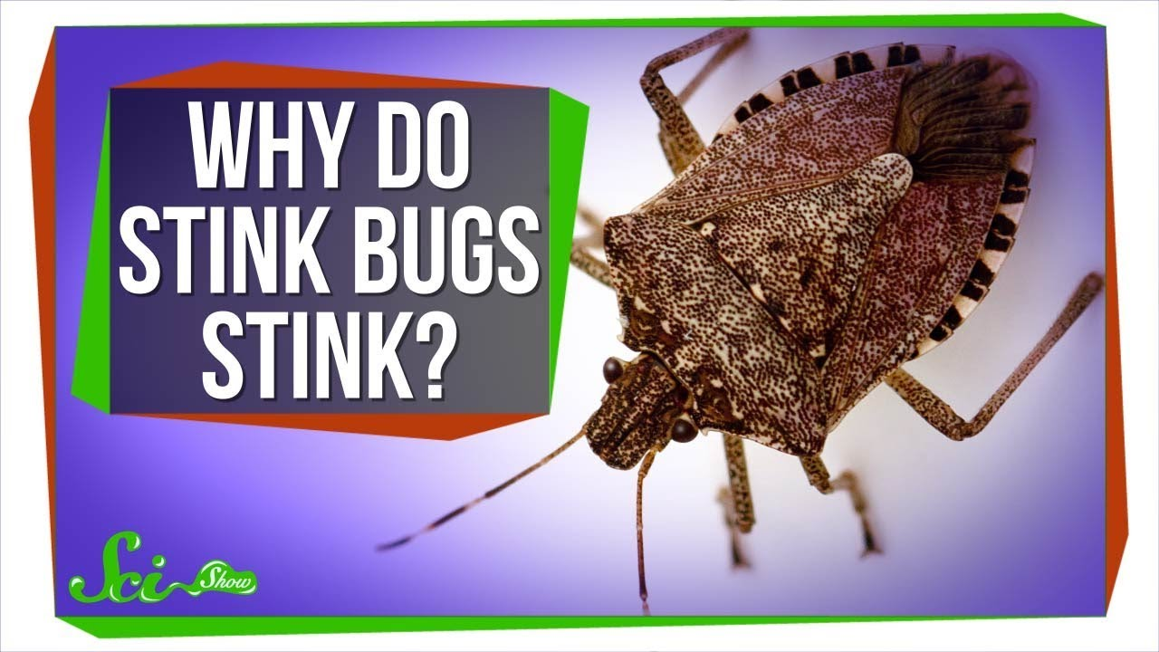 why do stink bugs stink youtube. Black Bedroom Furniture Sets. Home Design Ideas
