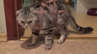 Сложнейшие роды у кошки скоттиш фолд. Кесарево и искусственное вскармливание котенка.