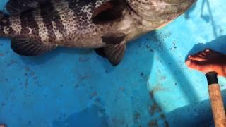 Fishing in GOA. Морская рыбалка на Гоа.(Группер 11 кг. 17.01.2014г. Индия Южный Гоа, Палолем., 2014-02-11T18:19:56.000Z)