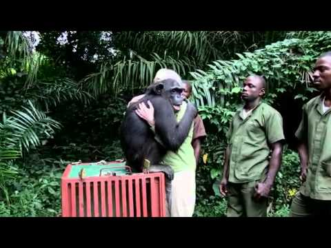 chimpanzee hugs after being released