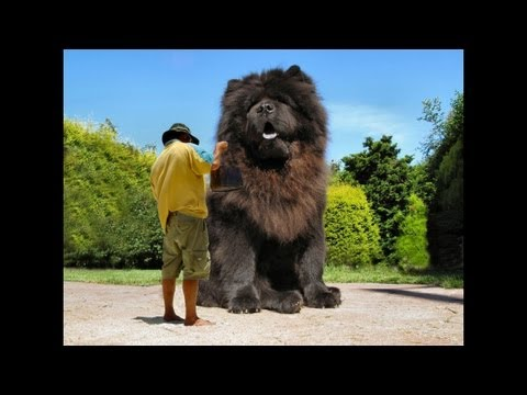 The biggest dog in the world ever 2014 youtube for What are the best dogs in the world