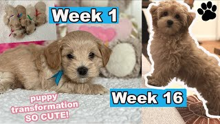 Maltipoo Puppy Growing Up! | Week 1 to Week 16 | Puppy Transformation