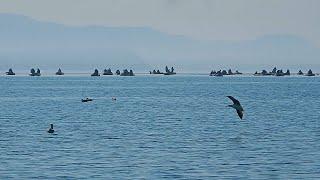Рыбалка в Приморье. Морская рыбалка. Бухта Средняя. 16.04.2020 г. Минтай.