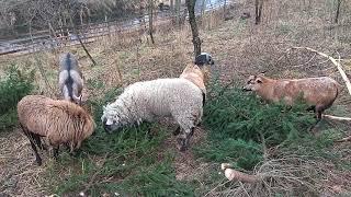 Owce kameruńskie#koza anglonubijska#owca domowa#owcakamerunska