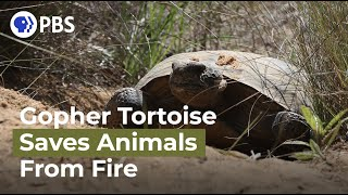 How the Gopher Tortoise Saves Hundreds of Animals from Wildfire