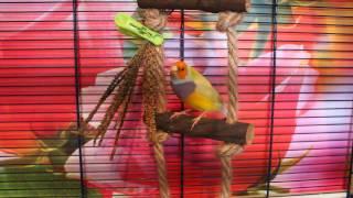 Cамец амадины гульда - желтый оранжевоголовый лиловогрудый синегенный