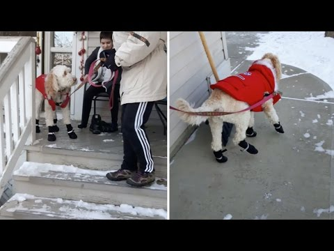 Confused Dog Struggled To Walk In Snow Boots