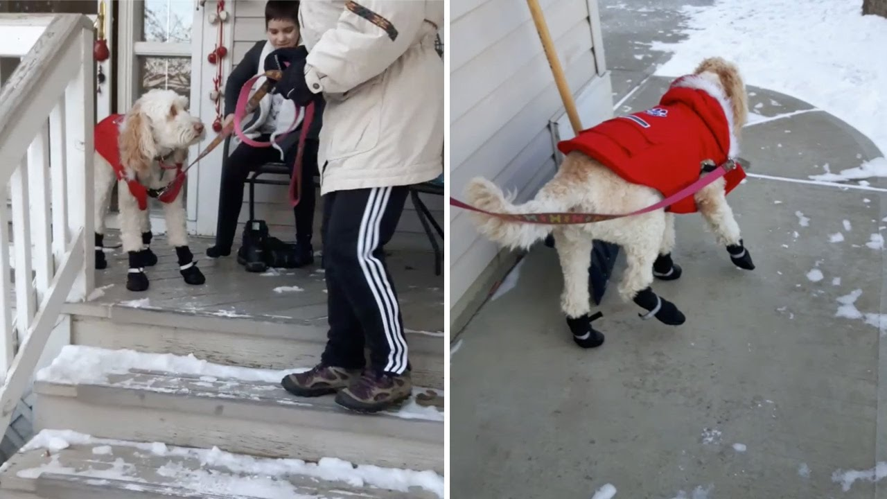 Confused Dog Struggled To Walk In Snow Boots - YouTube