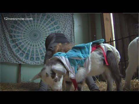 New yoga spot in Pennsylvania with baby goats