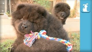 Fluffy Chow Puppy Is So Silly - Puppy Love