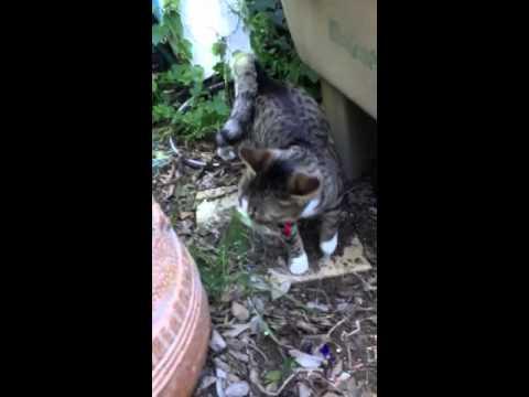 American Ringtail Cat-Calvin