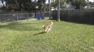 Obi, Siberian Husky, Needs A Home