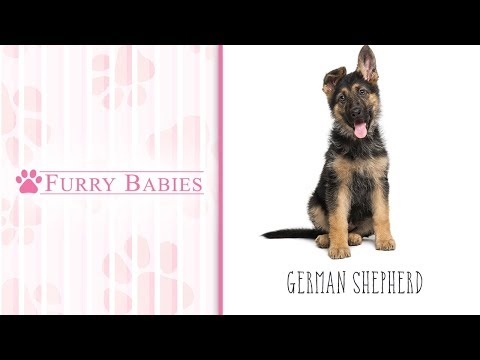 is-the-german-shepherd-the-right-breed-for-you?