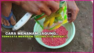 Download lagu Cara Menanam Jagung Manis