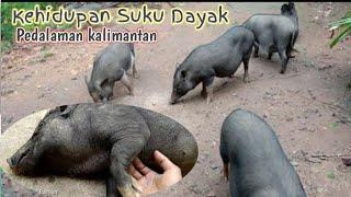 Download lagu hari hari mengumpan babi videonya cocok untuk klip lagu dayak hari hari mengumpan babi