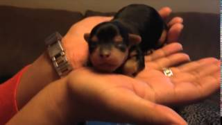 Yorkshire Terrier, Cute Tiny Puppy Sleeps In My Hand  Yorkshire Terrier Puppy, Chanel Bridget