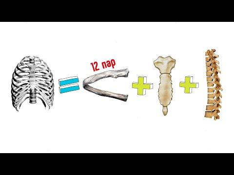 Видеоурок ребра и грудина