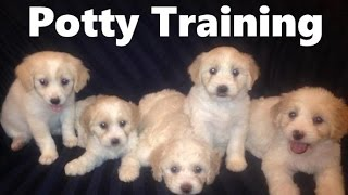 How To Potty Train A Bolonoodle Puppy - Bolonoodle House Training Tips - Bolonoodle Puppies
