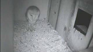 Barn Owl Doing A Defensive Stomp With Screams In  Kestrel Nest