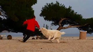 GIANT Central Asian Shepherd Dog plays on the beach