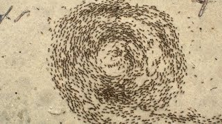 Why army ants get trapped in 'death circles'