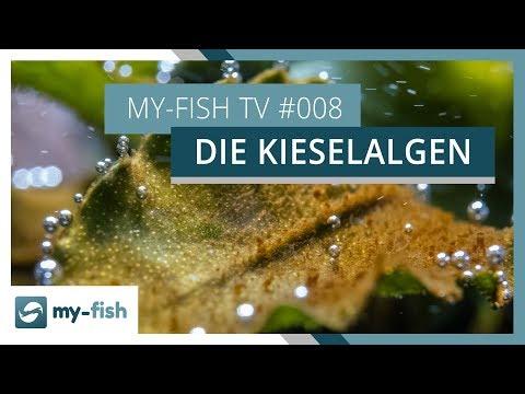 Kieselalgen im Aquarium | Tipps zur Bekämpfung von Braunalgen | my-fish TV