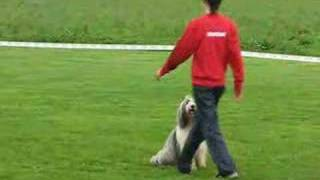 Bearded Collie Buffy  Obedience Trials