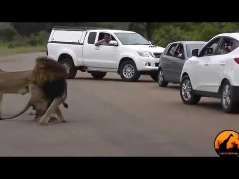 Lion Shows Tourists Why You Must Stay Inside Your Car Latest Wildlife Sightings - YouTube