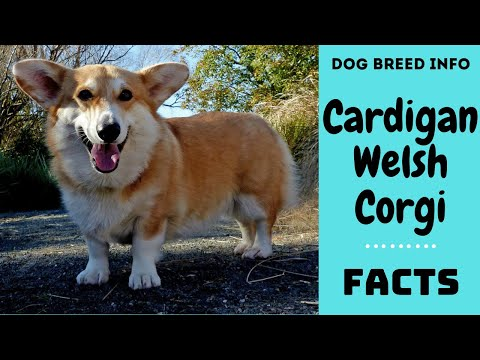Cardigan Welsh Corgi dog breed. All breed characteristics and facts about Cardigan Welsh Corgi