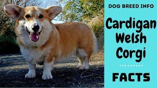 Cardigan Welsh Corgi dog breed. All breed characteristics and facts about Cardigan Welsh Corgi