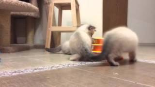 Невские маскарадные котята 2 месяца