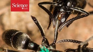 Ants treat comrades injured on the field of battle