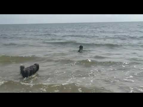 Kirinki, der Seehund! 😀, Bearded Collies from Crazy's Garden