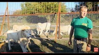 ЖЕСТЬ  !!! Олег Зубков  держит прайд львов  читая им лекцию пока ест лев Филя !!!Тайган .Крым