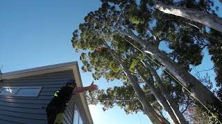 EUCALYPTUS PRUNE UP... Dropping branches over roof
