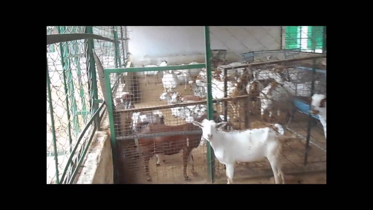 Barbari Goat Farm, Dairy goat farm,cirg mathura