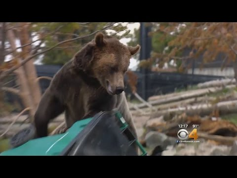 Bear-Proof Trash Cans Actually Tested On Bears - YouTube