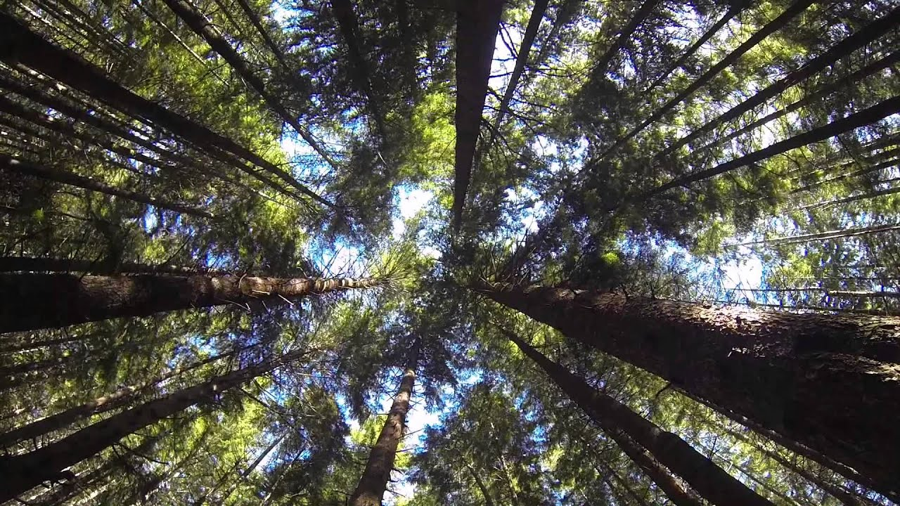 Time Lapse Sequoia Trees Redwood Forest Northern California