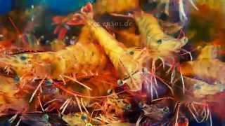 Big Shrimp in Aquarium Tank in Asia