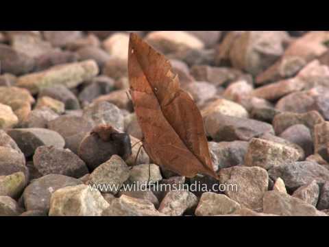 Narandzasti leptir koji se kamuflira u suhi list.