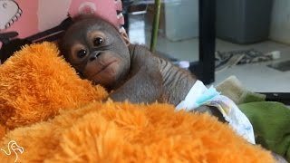 Orangutan Abandoned In Box Is The Cutest Little Fighter