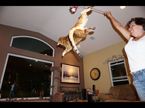 Funny Amazing High flying Bengal Cats Cheeto and Kona high energy