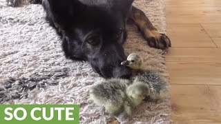 German Shepherd comforts newborn goslings thumbnail