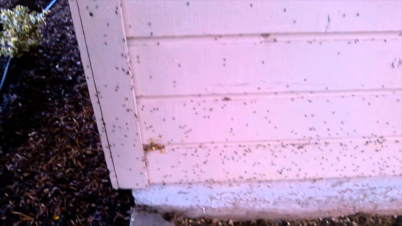 how to get rid of elm seed bugs