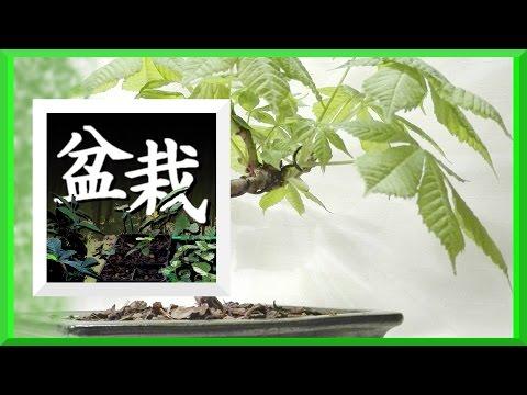 Bonsai Anzucht - Impressionen April 2017