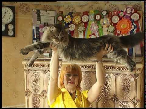 Самые большие коты в мире Мейн Кун.