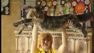 Самые большие КОТЫ в мире Мейн Кун Питомник Bartalameo*UA г.Киев
