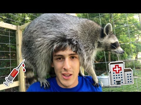 Don't Make this Mistake with Your Pet Raccoon!